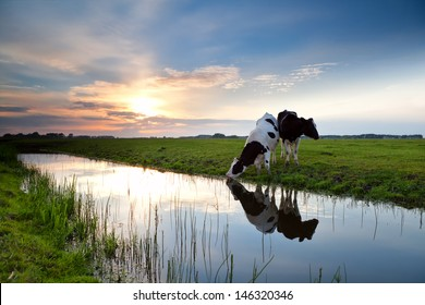 cows grazing on pasture and river at sunset