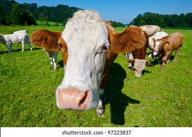 Cows Grazing on Pasture in Southern Bavaria, Germany