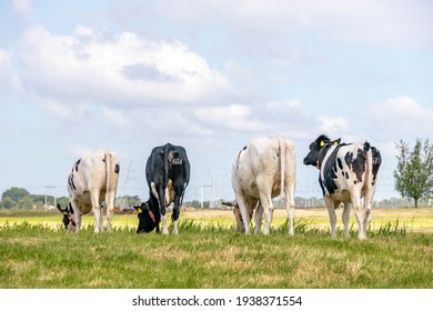 Cows grazing on row, walking away, seen from behind, stroll towards the horizon, with a soft blue sky with some white clouds.