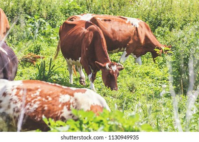 Cows grazing on summer pasture at sunny day. Toned photo. Agricultural concept. Montbéliarde cows.