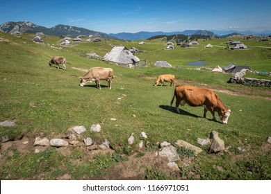 Cows grazing on Velika planina (Big Pasture Plateau), Kamnik, Slovenia