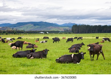 Cows grazing at a pasture in New Zealand