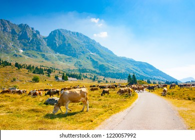 Cows grazing in the pastures alongside the road of Montasio Plateau in Julian Alps during the summer, Sella Nevea, Friuli, Italy
