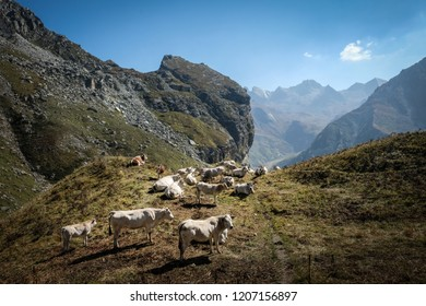 Cows grazing in the Piedmont Alps.