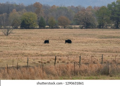 Cows grazing in a ranch pasture - Oklahoma