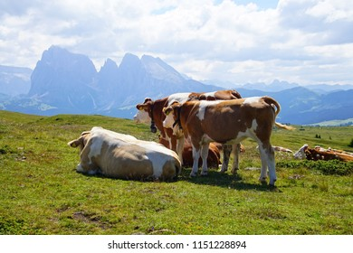 Cows grazing and resting on an alm pasture of the Dolomites Alps, Italy