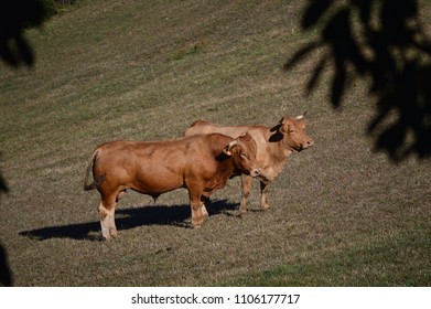 Cows Grazing and Sunbathing in the Meadows of the Mountains of Galicia. Travel Animals Nature. August 18, 2016. Rebedul, Becerrea Lugo Galicia Spain.