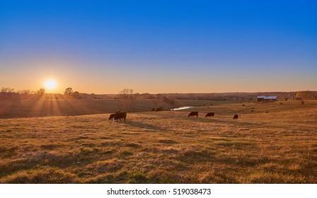 Cows Grazing at Sunset