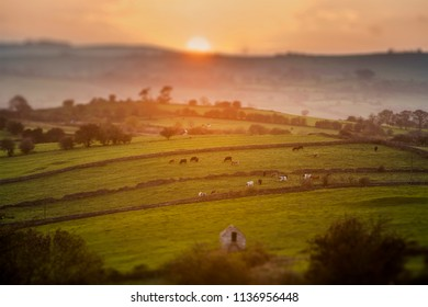 Cows Grazing at Sunset in Derbyshire with Tilt Shift Focus Effect
