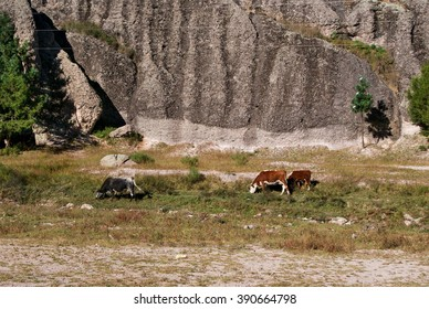 Cows grazing under old rock formations of Copper Canyons, Chihuahua, Mexico