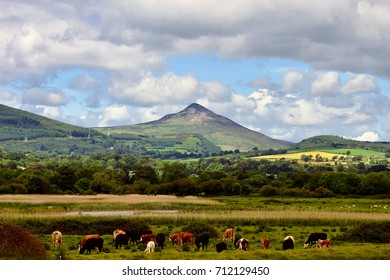 cows grazing under the sugarloaf mountain in county Wicklow ireland.this picture was taken from kilcoole beach.