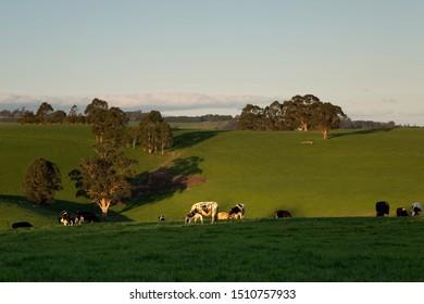 Cows grazing in warm Spring sunshine at Noojee in rural Victoria, Australia.