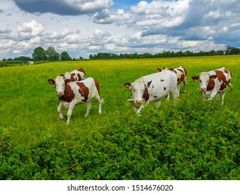 Montbéliarde Cows in a green field in France
