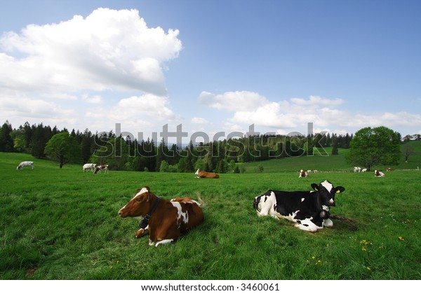 Cows in the green filed on a Summer Sunny Day.