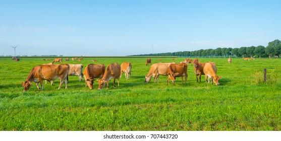 Cows in a green meadow in sunlight in summer