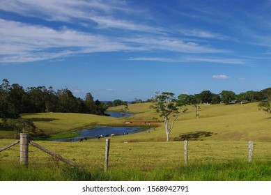 Cows happily graze by dam in fields of Maleny, Queensland