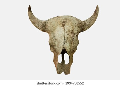 Cow's head skull isolated on white background