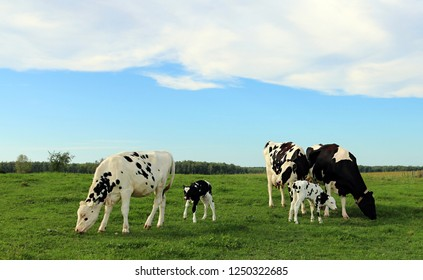 cows, heifer and two twin calves play in the field with mom watching nearby