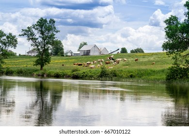 cows herd by the river, Quebec, Canada at summer daytime