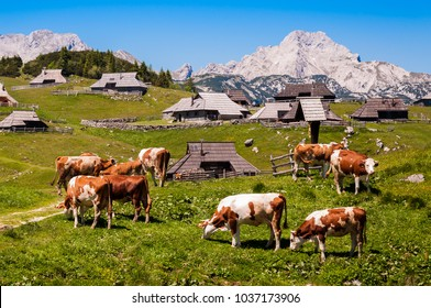 The cows and herdsmen's huts on the Big Pasture Plateau in Slovenia in the Kamnik Savinja Alps northeast of Kamnik, Slovenia.