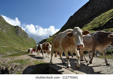 Cows in high mountain alpine rough grazing, Val Formazza, Italy