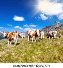 cows in high mountain pasture