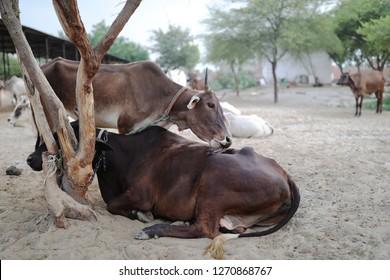 Cows of holy ground Vrindavan. Goshala