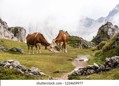 Cows in the Italian Dolomites seen on the hiking trail on the Col Raiser plateau above the village of St. Cristina in the Gardena valley, South Tyrol region, Italy.