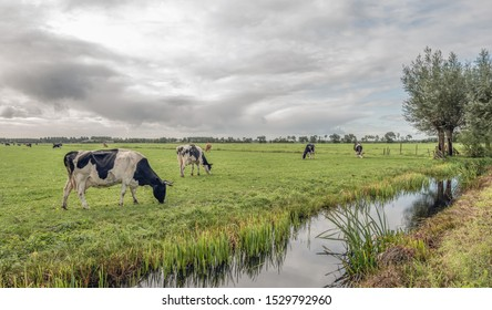 Cows in a large Dutch meadow next to a ditch. The cows have horns. It's raining from the dark clouds in the sky. The photo was taken near the village of Noordeloos in the Alblasserwaard area.