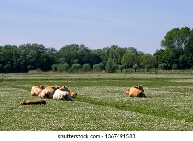 Cows laying down on a pasture in the Dutch nature reserve Hollandse Biesbosch near Dordrecht