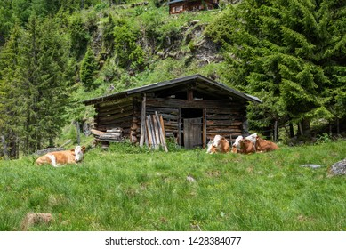 cows laying on alpine pasture with little stable