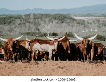 cows longhorn farm