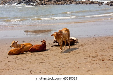 cows lying at the beach in India