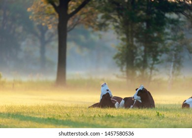 Cows lying in misty meadow at sunrise.