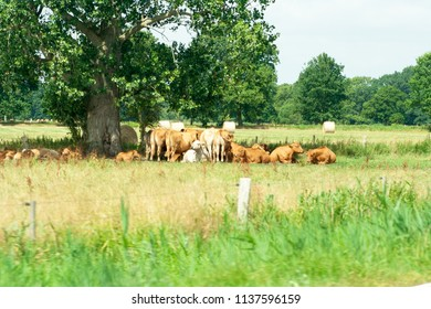 Cows lying under a tree on a farm in Germany