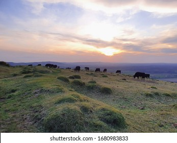 Cows march and graze and socialise atop an English hill. The sun sets on the horizon and the background brings memories of lilac and bergamot.