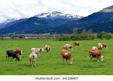Cows in a meadow with beautiful Austrian Alps on background. One cow looking at camera.