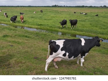 Cows in a meadow with ditch in the Netherlands