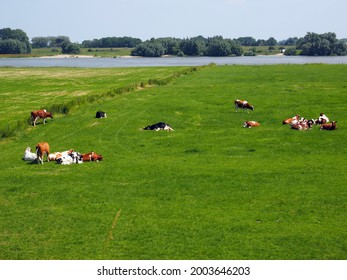 Cows in a meadow on a hot summer day in Heesselt, Netherlands