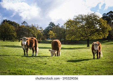 Cows in meadow on a sunny day