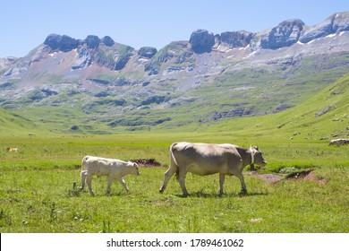 Vacas en las praderas de Aguastuertas, selva Oza, Pirineos Huesca