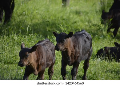 Cows are members of the sub-family 'Bovinae' of the family 'Bovidae'. This family also includes Gazelles, Buffalo, Bison, Antelopes, Sheep and Goats.