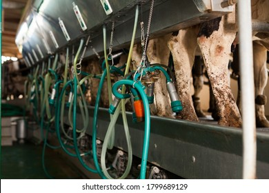 Cows with milking machine at rotary parlour system of dairy farm