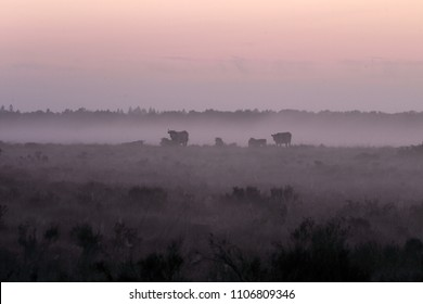 Cows in the mist in Dwingelderveld, the Netherlands