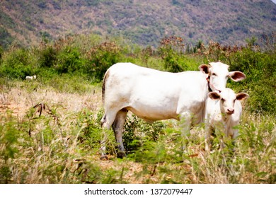 Cows in natural pastures