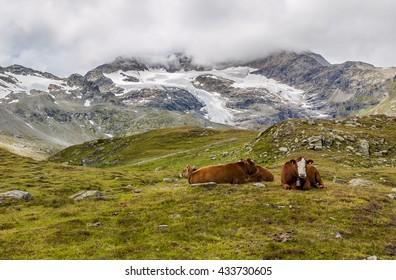 Cows near alpine road in Switzerland