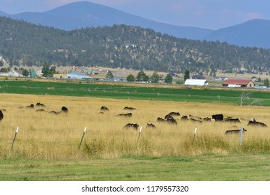 Cows nearly hidden by tall dry grass.