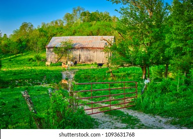 Cows next to a Barn