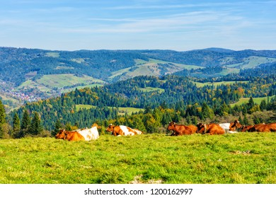 Cows on alpine meadow, in the background the Pieniny mountains near Szczawnica, Poland
