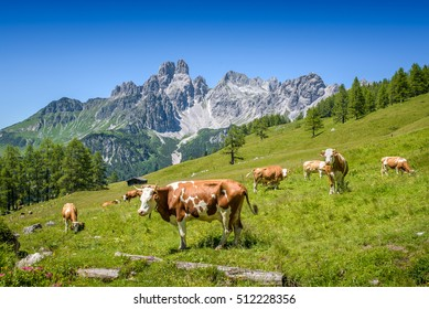 Cows on austrian alp, Salzburger Land, Austria